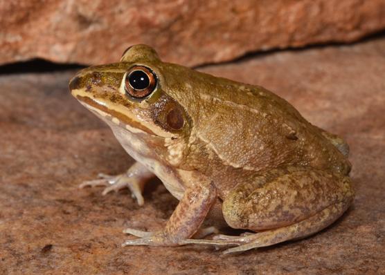 Australian Museum FrogID Project